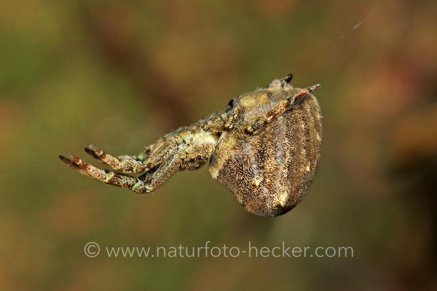 Dreiecksspinne, Dreieckspinne, Dreiecks-Spinne, Dreieck-Spinne, Hyptiotes paradoxus, Triangle spider, Kräuselradnetzspinnen, Uloboridae