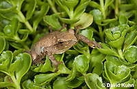 0809-0901  Spring Peeper Frog Climbing on Green Sedums, Pseudacris crucifer (formerly: Hyla crucifer)  © David Kuhn/Dwight Kuhn Photography