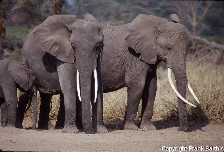 african elephants at Amboseli National Park