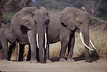 african elephants at Amboseli National Park