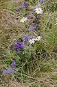 Wildflowers: Campanula glomerata, Ox-eye Daisy (Leucanthemum vulgare), Sheep's Bit Scabious (Jasione laevis), Swiss Alpine Show Garden, Hampton Court Flower Show 2012.