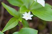 Starflower - Trientalis borealis- during the summer months on the side of Boott Spur Trail in the White Mountains, New Hampshire. It is the only member of the primrose family that is found above treeline.