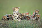 Pictured:  The Cheetah mother with her seven cubs, the seventh one (circled) hiding at the back.<br /> <br /> A family of newborn cheetah cubs crouch together and look innocently out at the world around them.  Cheetahs usually give birth to a litter of three to five cubs, and because the young are very vulnerable to predators, such as lions and leopards, many are killed before they reach adulthood.<br /> <br /> This family is made up of a mother, Siligi (meaning hope in Swahili) and her seven cubs, six of whose faces can be seen in the photo with the seventh lying just visible behind them.  Rangers have been protecting Siligi and her cubs since she gave birth in an area of deserted grassland called Kisincha, in the Masai Mara, Kenya.  SEE OUR COPY FOR DETAILS.<br /> <br /> Please byline: Antonio Liebana/Avalon/Solent News<br /> <br /> © Antonio Liebana/Avalon/Solent News & Photo Agency<br /> UK +44 (0) 2380 458800