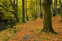 Ash Forest and River Coe in Autumn