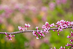 Redbuds at the Arnold Arboretum in the Jamaica Plain neighborhood, Boston, Massachusetts, USA
