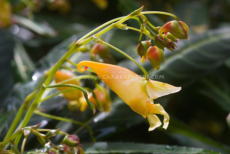 Impatiens Omiensis Plant Flower Stock Photography Gardenphotos