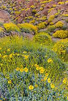 Anza-Borrego Desert State Park, CA: Flowering brittlebush (Encelia farinosa) and creosote bush (Larrea tridentata) nestled against sandstone boulders and hilllside of Glorieta Canyon
