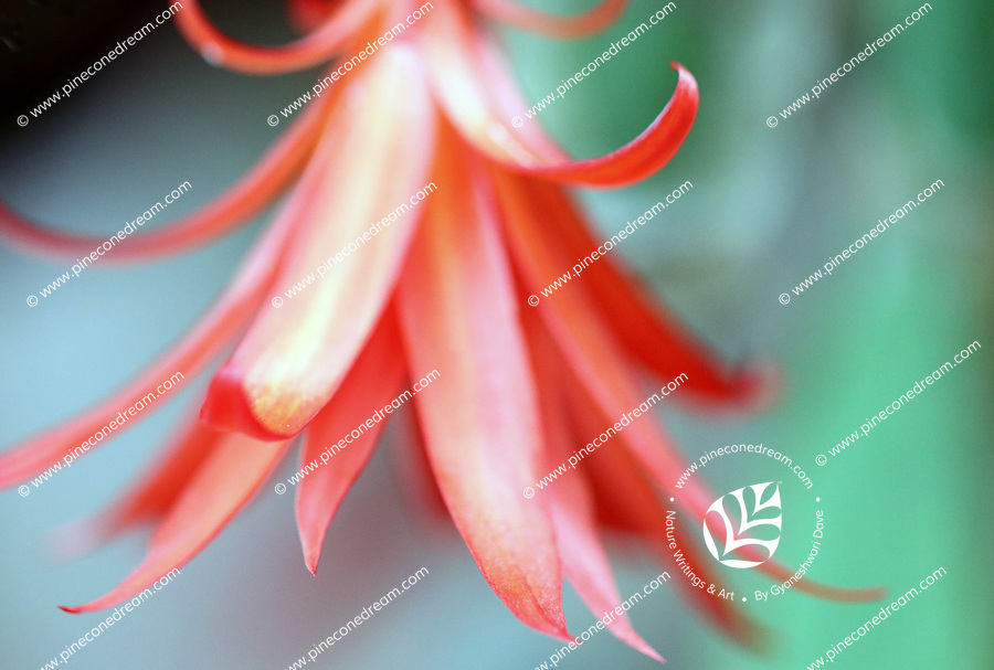 Dreamy close up of a red orange cactus flower hanging upside down - Free nature stock image.