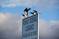 Runway Crossing sign with seabirds