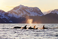 killer whale or orca, Orcinus orca, pod of whales, surfacing, spouting, blowing, at sunset, with snow covered mountains in background, Kenai Fjords National Park, Alaska, USA, Resurrection Bay, aka Blying Sound and Harding Gateway, Pacific Ocean