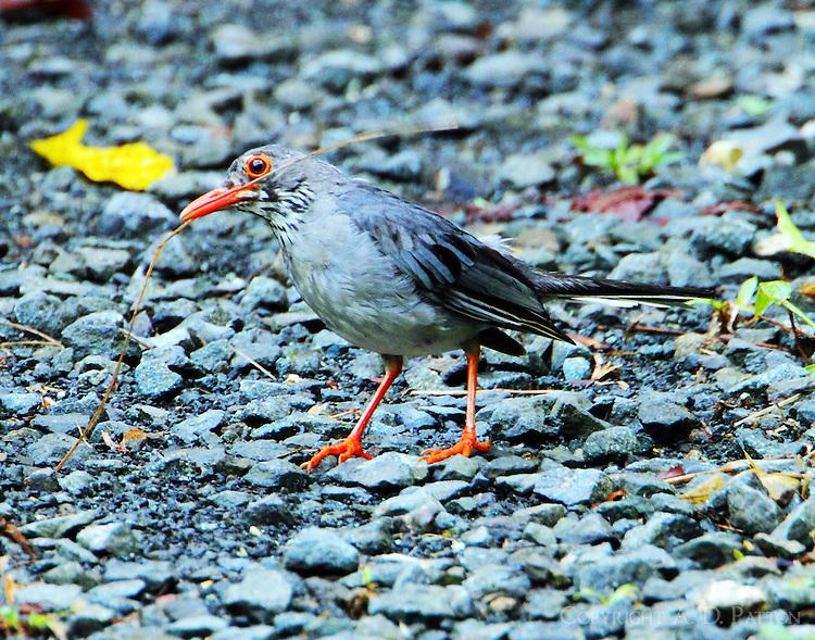 Red-legged thrush gathering nesting material