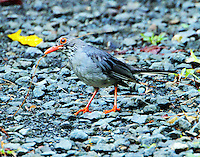 Red-legged thrush gathering nesting material