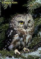 OW02-044z  Saw-whet owl - Aegolius acadicus
