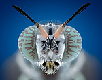 Pictured:  Soldier fly.<br /> <br /> A series of mesmerising close-up images of insects make them look like aliens.  Photographer Marco Jongsma captured the macro shots of a range of bugs including a cuckoo wasp and a crab spider.<br /> <br /> The pictures detail the intricate features and patterns of the insects - from the bulging yellow eyes of a tiger beetle to the delicate hairs on a honey bee.  The 34-year-old used a macro lens and a microscope to picture the insects in a laboratory at his home in Lemmer, the Netherlands.  SEE OUR COPY FOR DETAILS.<br /> <br /> Please byline: Marco Jongsma/Solent News<br /> <br /> © Marco Jongsma/Solent News & Photo Agency<br /> UK +44 (0) 2380 458800