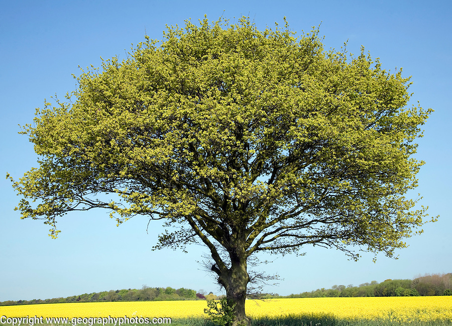 Oak tree in Spring with new leaves with yellow background of oil seed rape crop and blue sky, Suffolk, England