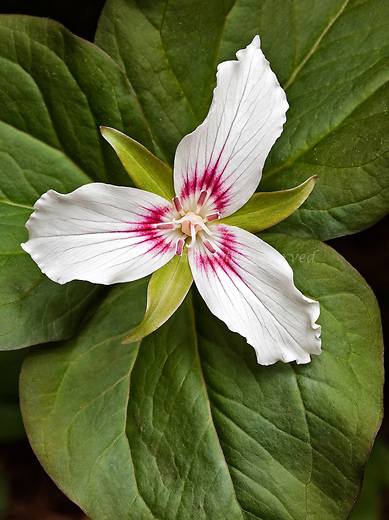 A lovely Painted Trillium is an attractive collection of three leaves, sepals and petals.