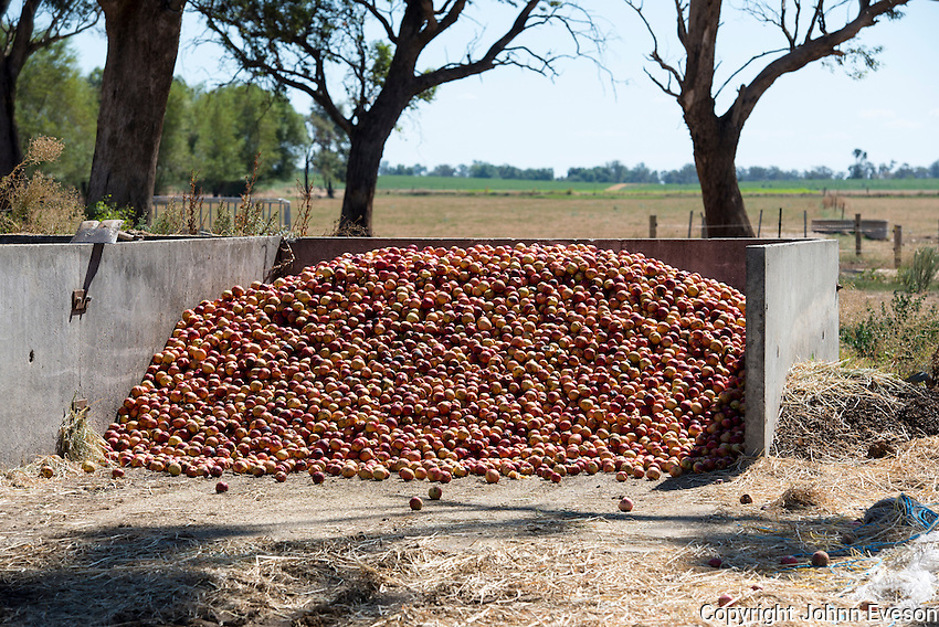 Waste apples for feeding to milking cows, Cobram, Victoria, Australia.