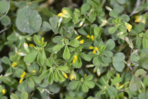Slender Trefoil - Trifolium micranthum