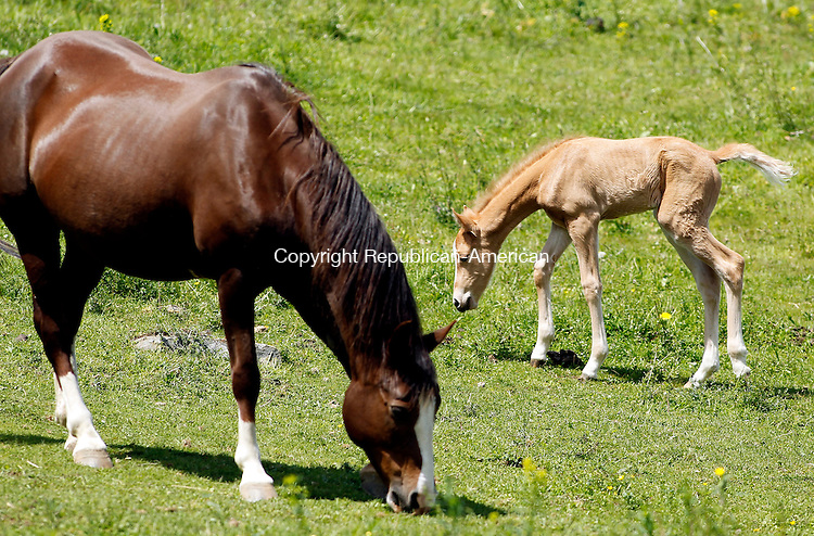 Litchfield, CT-17, May 2010-051710CM07  A foal and her mother graze in the pasture, Monday afternoon at Lee's Riding Stable in Litchfield.  The pair were out with other horses enjoying the warm Spring weather.  According to the National Weather Service, today is expected to be rainy with the highs in the lower 60's.   --Christopher Massa Republican-American