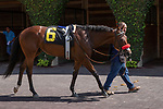 DEL MAR, CA  AUGUST 4:   #6 Carnivorous in the paddock before the Graduation Stakes  in the stretch on August 4, 2018 at Del Mar Thoroughbred Club in Del Mar, CA.  (Photo by Casey Phillips/Eclipse Sportswire/ Getty Images)