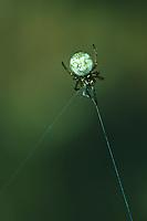 Zwergradnetzspinne, Zwergkreuzspinne, Zwerg-Radnetzspinne, Zwerg-Kreuzspinne, Theridiosoma gemmosum, ray spider, Zwergradnetzspinnen, Theridiosomatidae,  ray spiders