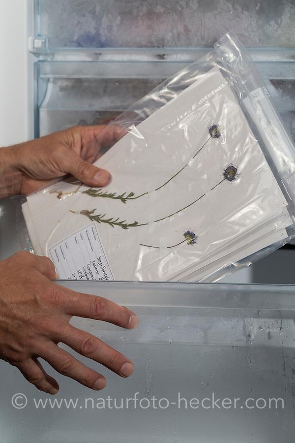 Herbarbogen, Herbarbögen werden in einem Gefrierbeutel in den Gefrierschrank gelegt, um Schädlinge, Schädlingsbefall zu bekämpfen. Botanik, Botanisieren, botany, Herbar, herbaria, Herbarien, herbarisieren, herbier, Pflanzenbestimmung, Pflanzenherbar