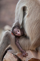 Indian Langur monkeys, Presbytis entellus, female and baby in Ranthambore National Park, Rajasthan, India