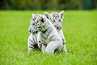 Bengal tiger, Panthera tigris tigris, cubs, playing on grass