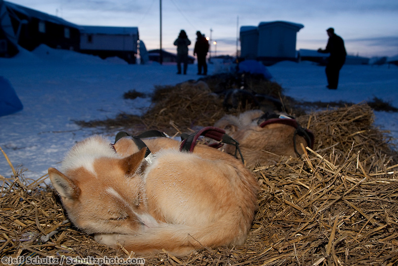 Aaron Burmeister dogs sleep at Kaltag on a cold 20 degrees below zero Sunday morning.  Iditarod 2009