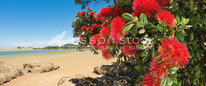 Red Flowering Pohutukawa tree on the beach, Tutukaka Coast, Northland, New Zealand - stock photo, canvas, fine art print