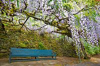 Wisteria (Wisteria floribunda) anf bench. Bishops Close. Portland. Oregon