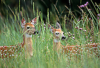 35-M07-DW-08    WHITE-TAILED DEER (Odocoileuis virginianus) two fawns in tall grass, National Bison Range, Montana, USA.