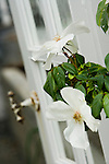A close-up, detail view of single white rose blossoms on a climbing antique rose, backed by the greenhouse door in soft focus in the Sissinghurst-style white garden behind the farmhouse on this property. Garden design by Toni Christianson, Christianson's Nursery