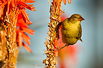 Cape Weaver (Ploceus capensis) female on Krantz Aloe (Aloe arborescens), Kaapsehoop, South Africa