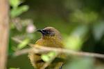 Bell Bird, New Zealand