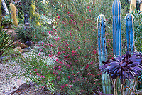 Grevillea 'Winpara Gem' flowering with cactus in Patrick Anderson Garden