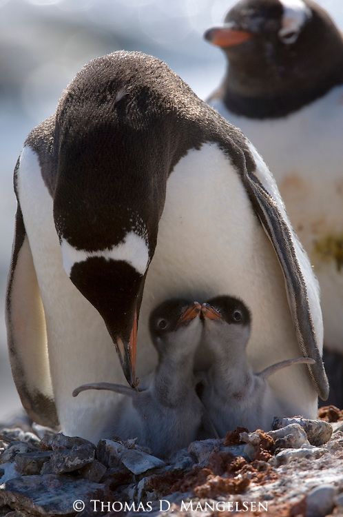 A Gentoo penguin attending to its two chicks in Port Lockroy, Antarctica.