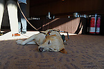 Brittany, the guide dog for blinded veteran Michael Jernigan who was seriously wounded in a roadside bomb attack in Fallujah, Iraq in 2004 and was medically retired from the marine corps in December 2005, is seen resting on the floor after Jernigan spoke at a luncheon co-hosted by the Dart Center for Journalism and Trauma in Atlanta, Georgia on January 9, 2010.