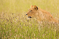 Portrait of a female lion amongst blooming grasses in the Kgalagadi Transfrontier Park