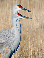 Bosque del Apache wildlife refuge was established about 80 years ago as resting and feeding grounds for migrating birds.  Sandhill cranes move between several ponds feeding throughout the day.