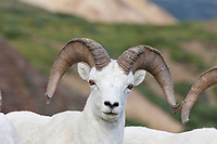Dall sheep ram portraits in Polychrome Pass, Denali National Park, Interior, Alaska.