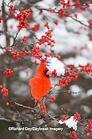 01530-21903 Northern Cardinal (Cardinalis cardinalis) male in Common Winterberry bush (Ilex verticillata) in winter, Marion Co IL