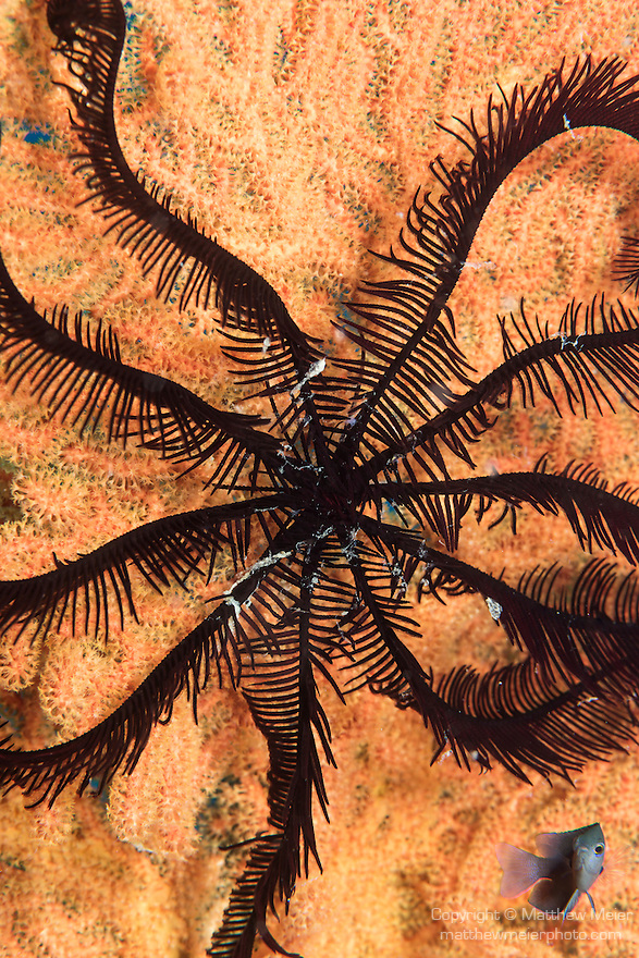 Anda, Bohol, Philippines; a feather star extends it's arms into a pinwheel pattern across a pink sea fan