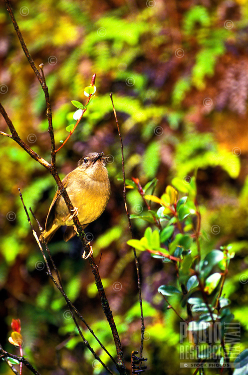 Endangered Puaiohi in the Alakai Swamp on the Island of Kauai