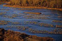 Sandhill cranes roosting along Platte River, Nebraska. March.  Morning.