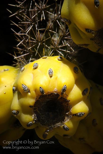 Cholla cactus fruit