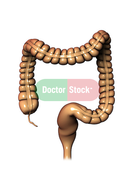 Colon; this 3d medical image features a detailed view of the large intestine including the appendix.