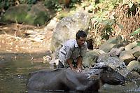 An Indonesian  peasant takes care of his buffalo.<br /> Contadino indonesiano si prende cura del suo bufalo