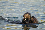 Sea Otter (Enhydra lutris) mother with pup feeding on clam prey, Elkhorn Slough, Monterey Bay, California