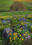 Columbia Hills State Park, WA: Columbia Gorge National Scenic Area, Balsamroot, lupine and phlox on hillside with a single Garry oak (Quercus garryana)